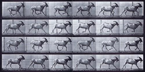 thumb_Plate_679_Goat_Galloping